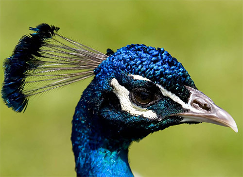 The Blue Peacock Strikes